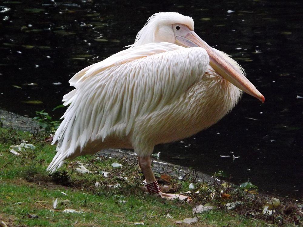 Rosapelikan (Zoo Krefeld)