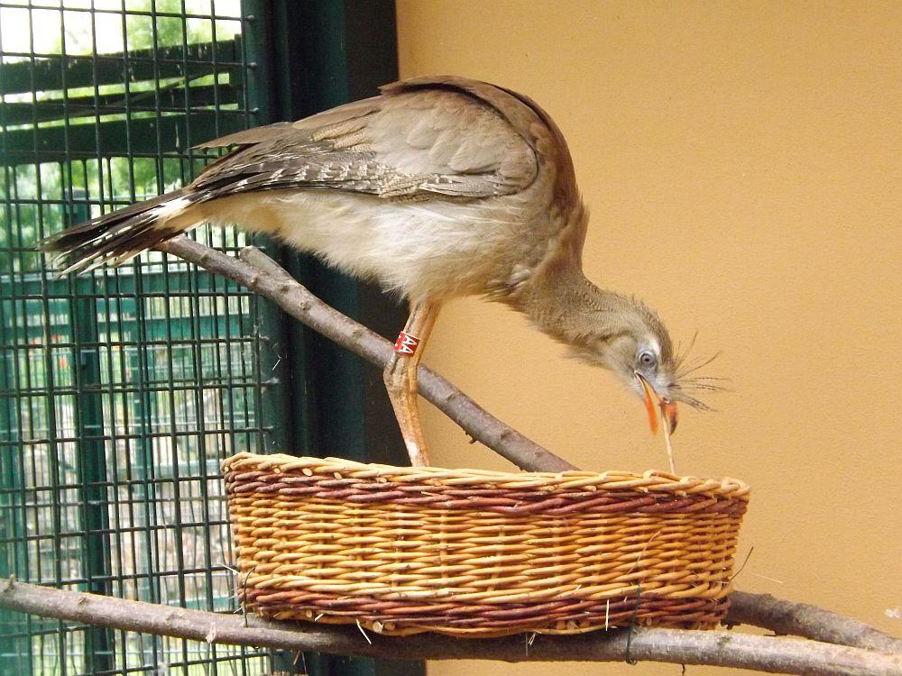 Rotfußseriema (Zoo Plzen)
