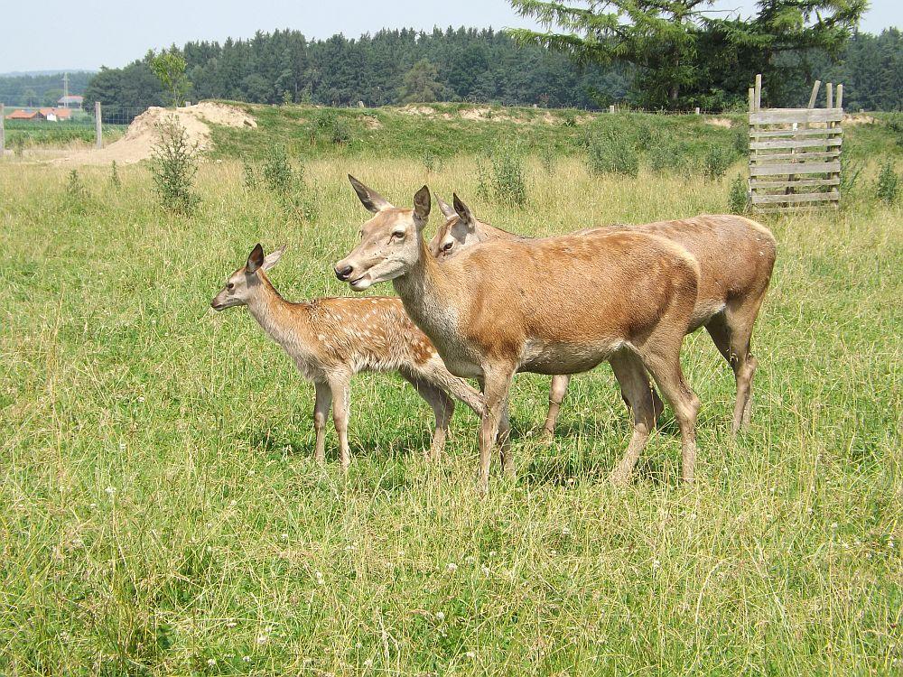 Rothirsch (Wildfreizeitpark Oberreith)