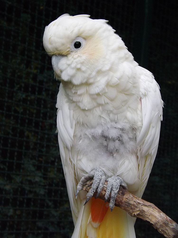 Rotsteißkakadu (Weltvogelpark Walsrode)