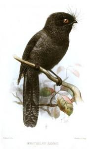 Schwarzrückenschwalm (Joseph Smit)