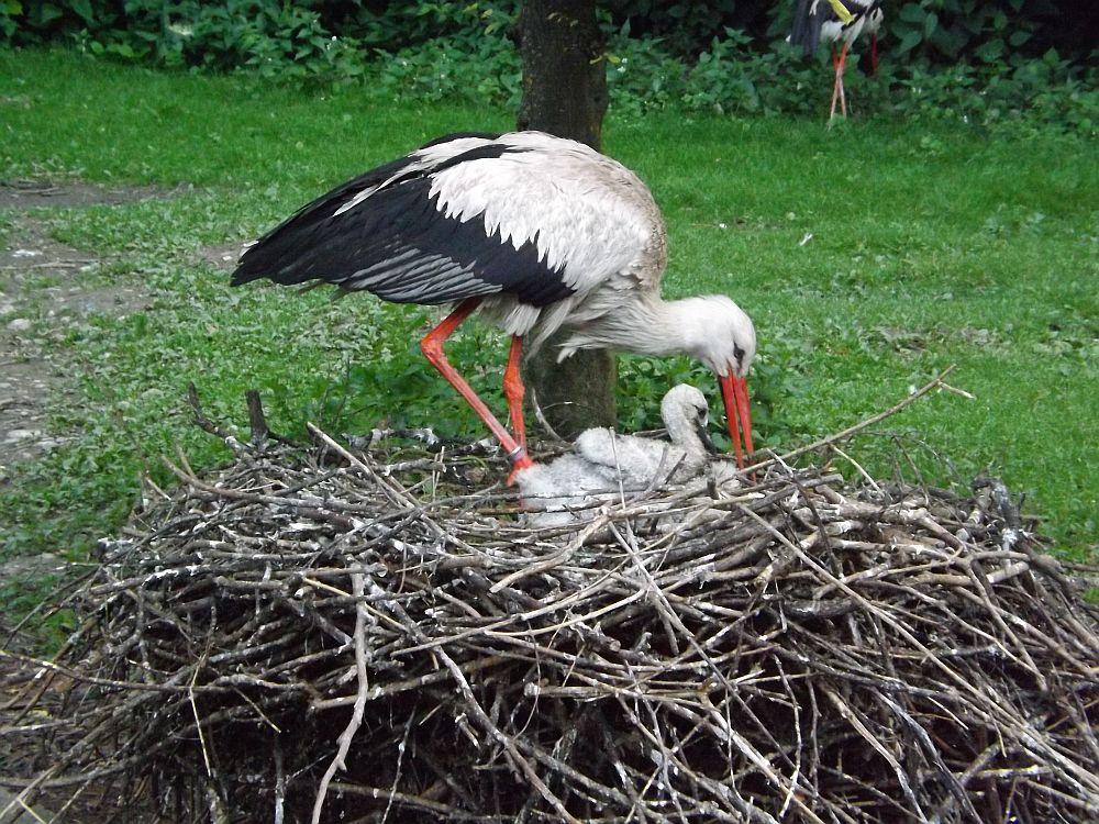 Weißstorch (Zoo Augsburg)