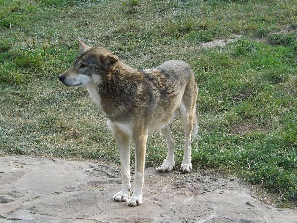 Wolf (Tiergarten Bernburg)