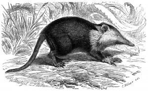 Kubanischer Schlitzrüssler (Brehms Tierleben)