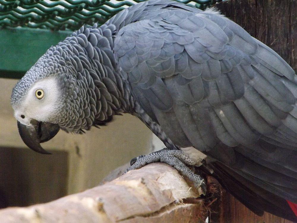 Graupapagei (Vogelpark Irgenöd)