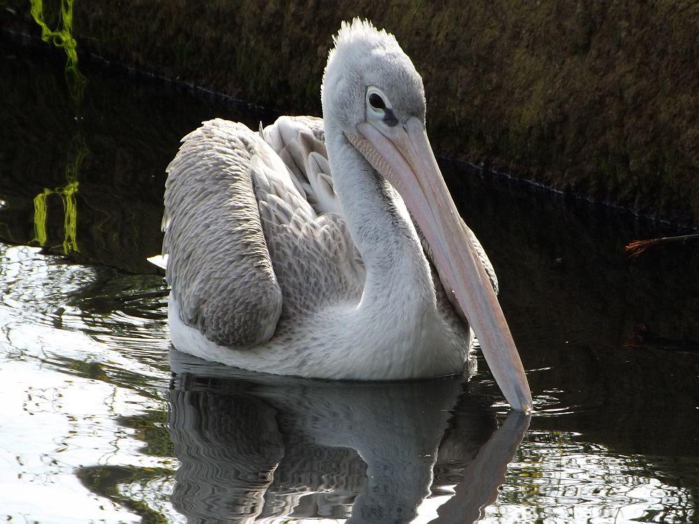 Rötelpelikan (Zoo Osnabrück)