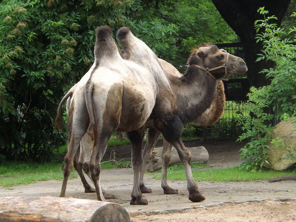 Trampeltier (Zoo Dresden)