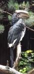 Trompeterhornvogel (Tiergarten Wels)