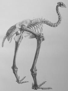 Anomalopteryx didiformus