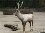 Bucharahirsch (Zoo Köln)