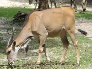 Elenantilope (Tierpark Hellabrunn)