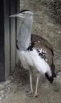 Koritrappe (Zoo Schmiding)