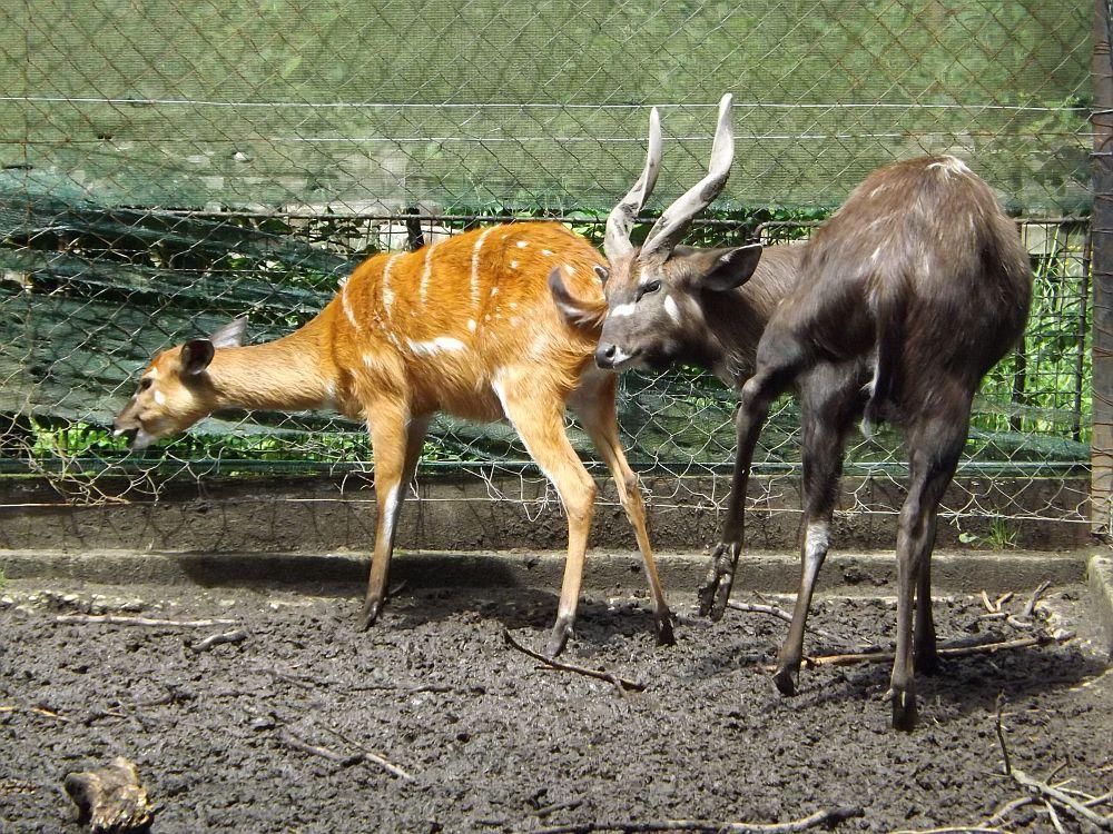 Sitatunga (Zoo Hodonin)
