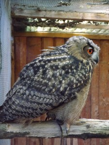 Europäischer Uhu (Vogelpark Olching)