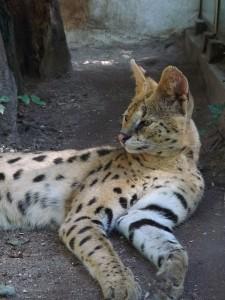 Serval (Tierpark Göppingen)