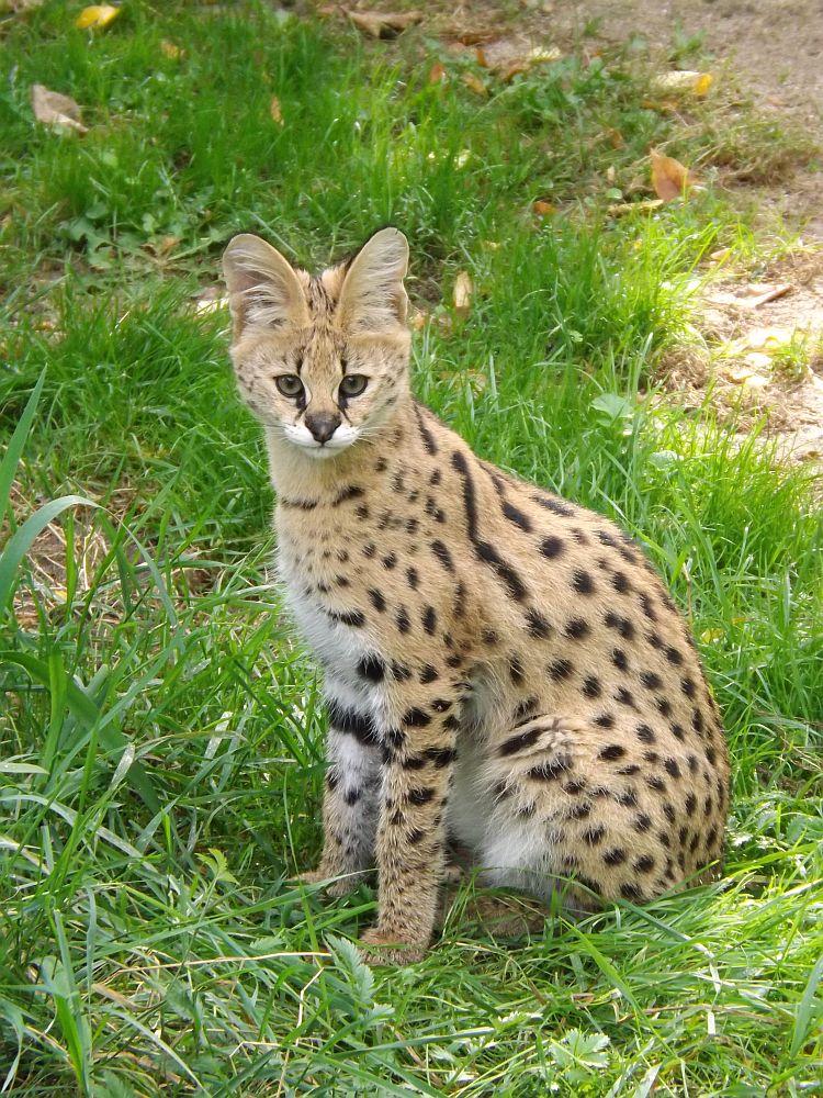 Serval (Zoo Krefeld)