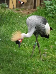 Grauhals-Kronenkranich (Zoo Plzen)