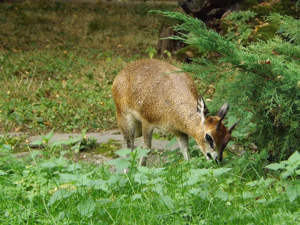 Klippspringer (Zoo Frankfurt)