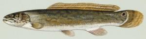 Kahlhecht (Duane Raver/U.S. Fish and Wildlife Service)