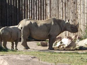 Spitzmaulnashorn (Zoo Magdeburg)