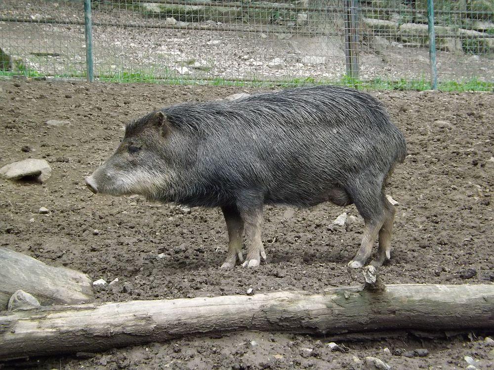 Weißbartpekari (Zoo Brno)