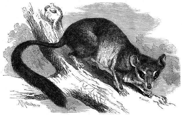 Großer Pinselschwanzbeutler (Brehms Tierleben)
