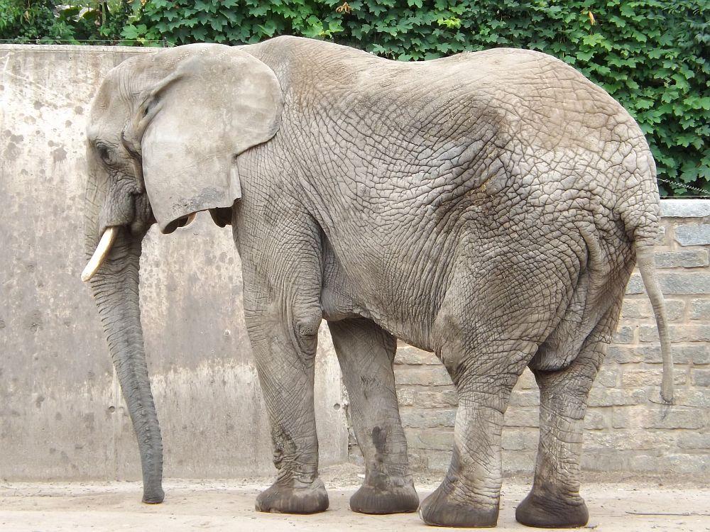 Afrikanischer Elefant (Thüringer Zoopark)