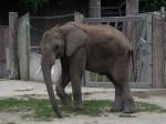 Afrikanischer Elefant (Tiergarten Schönbrunn)
