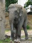 Asiatischer Elefant (Zoo Leipzig)