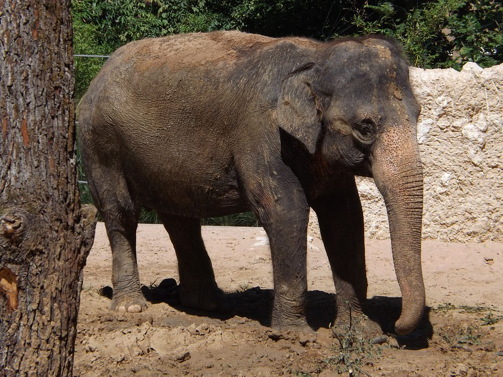 Asiatischer Elefant (Wilhelma)