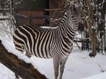 Böhm-Steppenzebra (Zoo Aschersleben)
