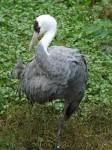 Mönchskranich (Weltvogelpark Walsrode)