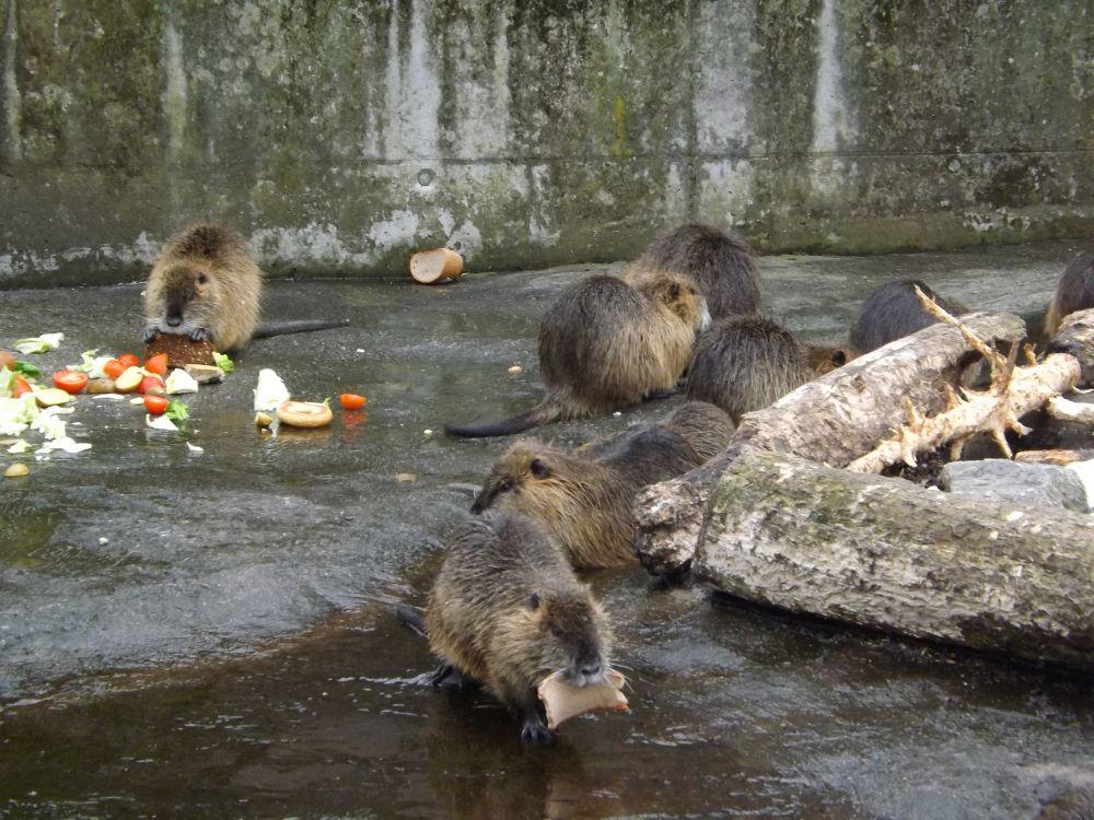 Nutrias (Zoologischer Garten Hof)