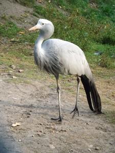 Paradieskranich (Weltvogelpark Walsrode)