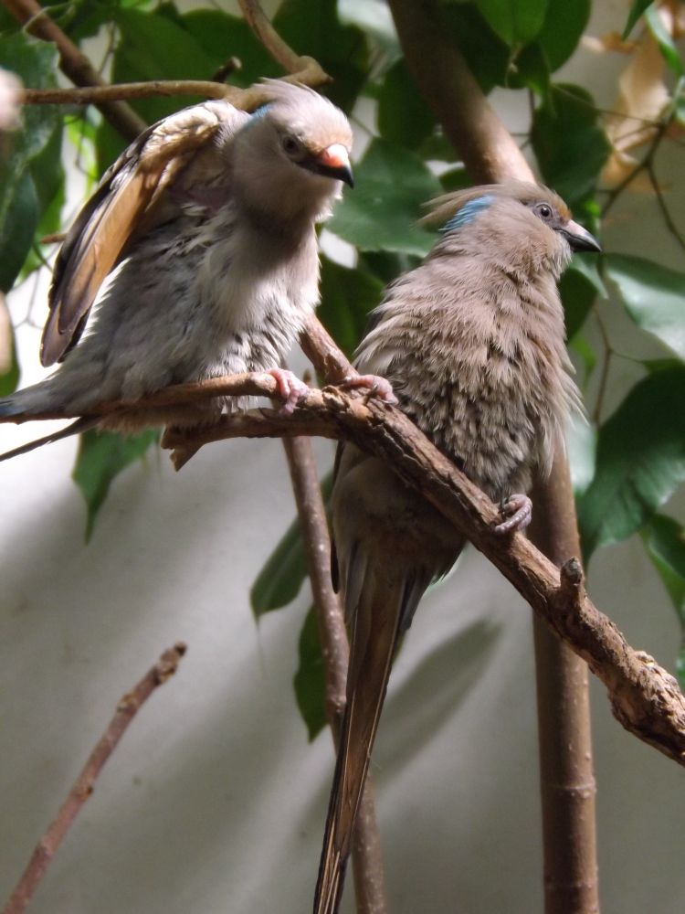 Blaunacken-Mausvogel (Wilhelma Stuttgart)