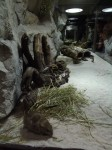 Fledermausgrotte, Vitrine der Fetten Sandratten (Tierpark Hellabrunn)