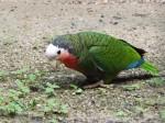 Kubaamazone (Zoo Hodonin)