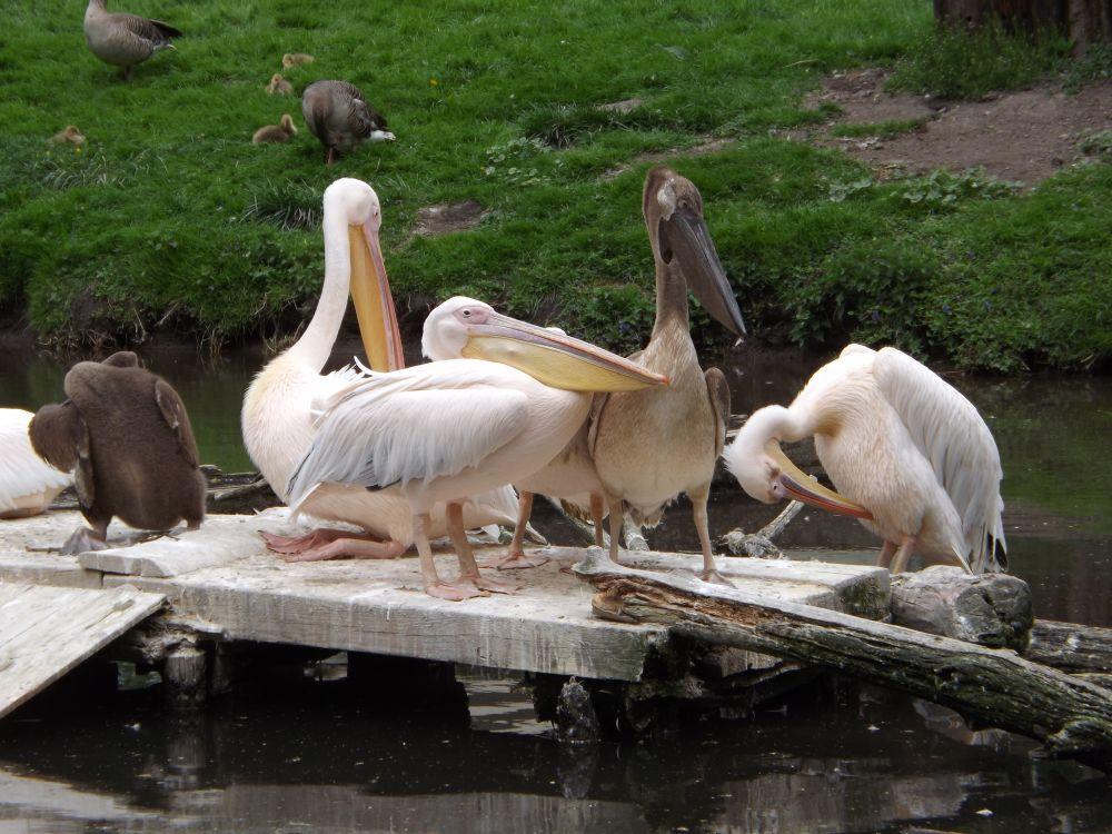 Rosapelikan (Tiergarten Straubing)