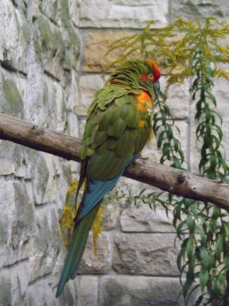 Rotohrara (Tierpark Berlin)