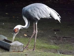 Weißnackenkranich (Weltvogelpark Walsrode)