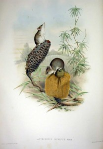 Kleine Schmalfußbeutelmaus (John Gould)