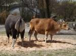 Banteng (Tierpark Hellabrunn)