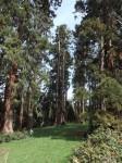 Mammutbäume (Wilhelma)