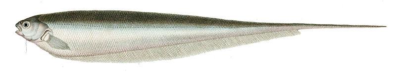 Grüner Messerfisch (Paul Luis Oudart)