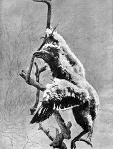 Hoatzinküken (J. Arthur Thomson)