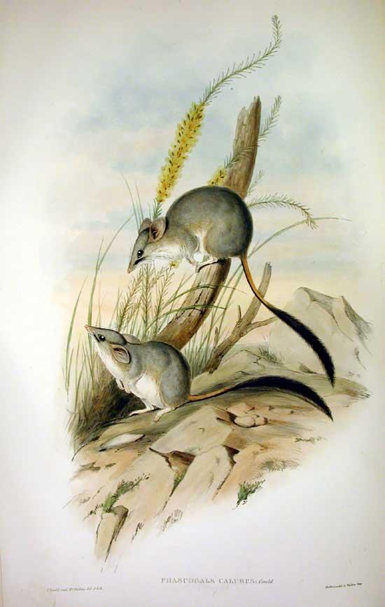 Kleiner Pinselschwanzbeutler (John Gould)