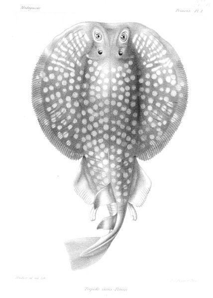 Torpedo sinuspersici(Histoire Physique, Naturelle et Politique de Madagascar. Volume 16 Histoire Naturelle des Poissons)