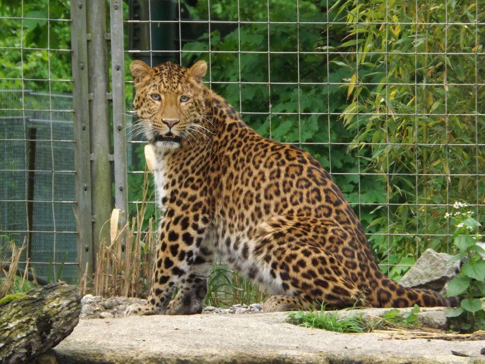 Chinaleopard (Tierpark Hellabrunn)