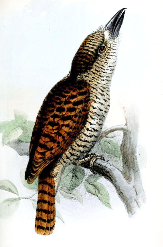 Grünschnabel -Faulvogel (Joseph Wolf)