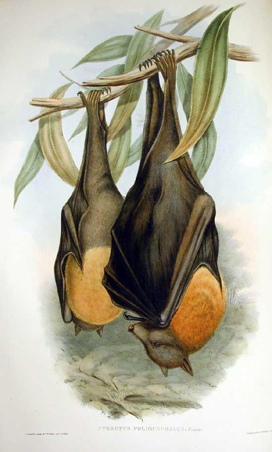 Graukopfflughund (John Gould)